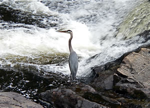 The Blue Heron.